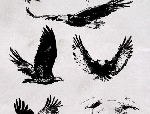Croquis d'aigle royal et Pygargue à tête blanche