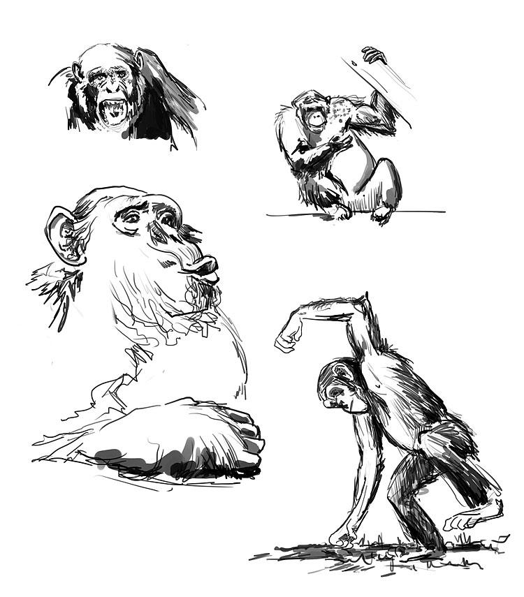 chimpanzées